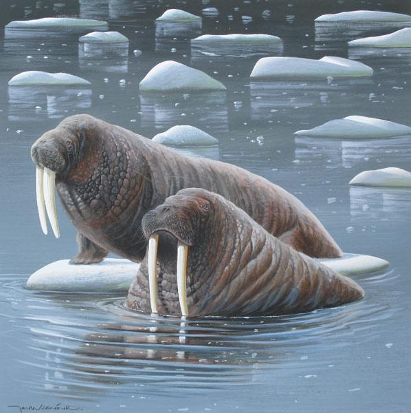 Walrus, gouache op schilderkarton, 38x39cm beeldmaat